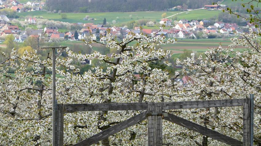 Gut geschützt kann aus der Blütenpracht hinter dem Zaun eine reiche Kirschernte heranwachsen. Gesehen am Walberla.