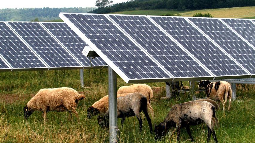 Wolf reißt trächtige Schafe in Solarpark bei Parsberg