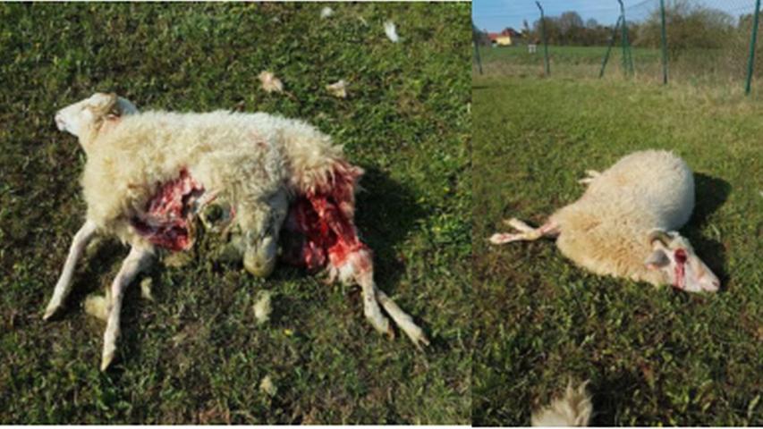 Zwei der vier bei Granswang getöteten Schafe: Der Anblick nach einer Wolfsattacke ist fast immer schockierend.