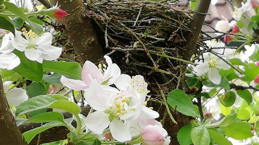 Blühende Obstbäume sind nicht nur schön anzusehen, sondern auch vielseitig nutzbar: Zum Beispiel als erstklassige Wohnadresse für eine Vogelfamilie. Im Apfelbaum hat NN-Leser Paul Gräßer aus Ebermannstadt entdeckt, dass hier offensichtlich gerade ein junges gefiedertes Pärchen dabei ist, sich häuslich einzurichten. Da kann die Familienplanung nicht mehr weit sein...