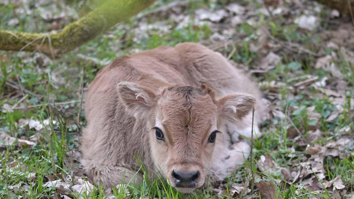 Dieses ist das jüngste Kalb der in diesem Jahr neugeborenen Auerochsen. Weitere Geburten werden noch erwartet.