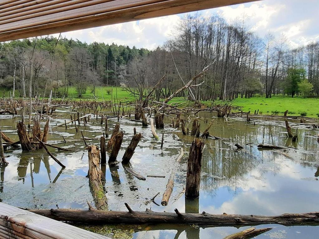 In diesem Teich war eine Biberfamilie, die einige Zeit im Naturschutzgebiet lebte, der Baumeister.