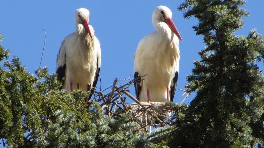 Stolze Vögel: Das sind die Treuchtlinger Störche