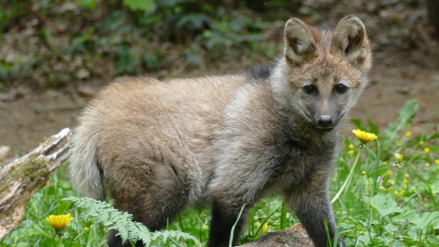 Mähnenwolf-NachwuchsNardi erkundet jetzt sein Gehege im Tiergarten Nürnberg.