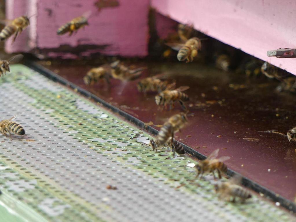 Dank des benachbarten Rapsfeldes finden Peter Seebergers Bienen genug Nahrung – auch für ihre Königin.