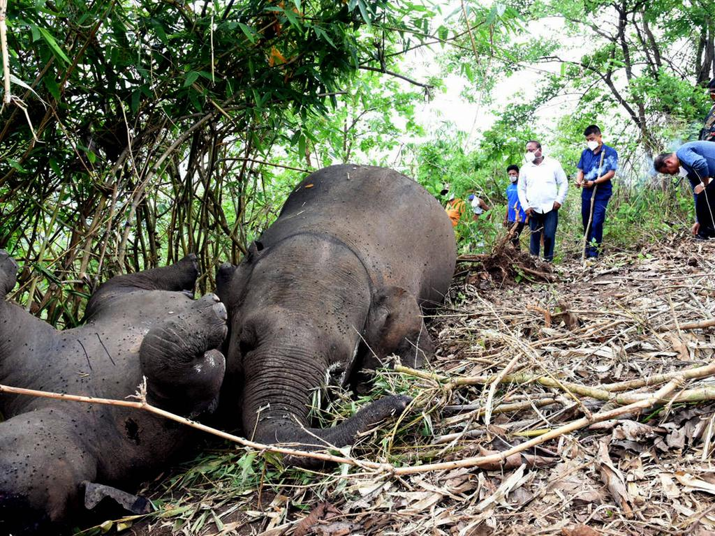 210514 -- NAGAON INDIA, May 14, 2021 -- Carcasses of elephants are seen in Nagaon district, India s northeastern state of Assam, on May 14, 2021. At least 18 elephants were suspected to have been killed by lightning, according to the preliminary reports given by the forest officials. Str/Xinhua INDIA-NAGAON-ELEPHANTS-DEATH Stringer PUBLICATIONxNOTxINxCHN
