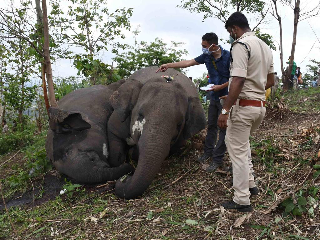 18 Elephants Killed In Lightning Strike In Assam A veterinarian team checks the carcasses of elephants at the site where eighteen elephants are believed to have died in lightning strikesat Bamuni Hills in Nagaon district of Assam, India on May 14, 2021. Nagaon Assam India hazarika-notitle210514_np6Y9 PUBLICATIONxNOTxINxFRA Copyright: xAnuwarxHazarikax