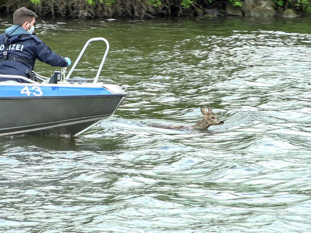 Einen tierischen Einsatz hatten Polizei und Feuerwehr am Dienstag (18.05.2021) im Main Donau Kanal in Bamberg. Den Einsatzkräften wurde zunächst ein Reh im Wasser gemeldet. Vor Ort angekommen fanden sie das Tier im Uferbereich. Die Polizei ging dann mit einem Boot in das Wasser, woraufhin das Reh weiter in den Kanal hinein schwamm. Schließlich konnte das Tier doch noch gerettet werden. Für das verirrte Reh geht es nun mit dem Boot nach Bischberg, wo es freigelassen wird. Für die Überfahrt wurde ihm zur Beruhigung ein Sack über den Kopf gezogen. Foto: NEWS5 / Merzbach Weitere Informationen... https://www.news5.de/news/news/read/20919