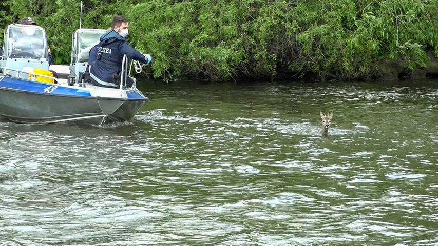 Bamberg: Reh fällt in den Kanal - Polizei rückt mit Boot zur Rettung aus