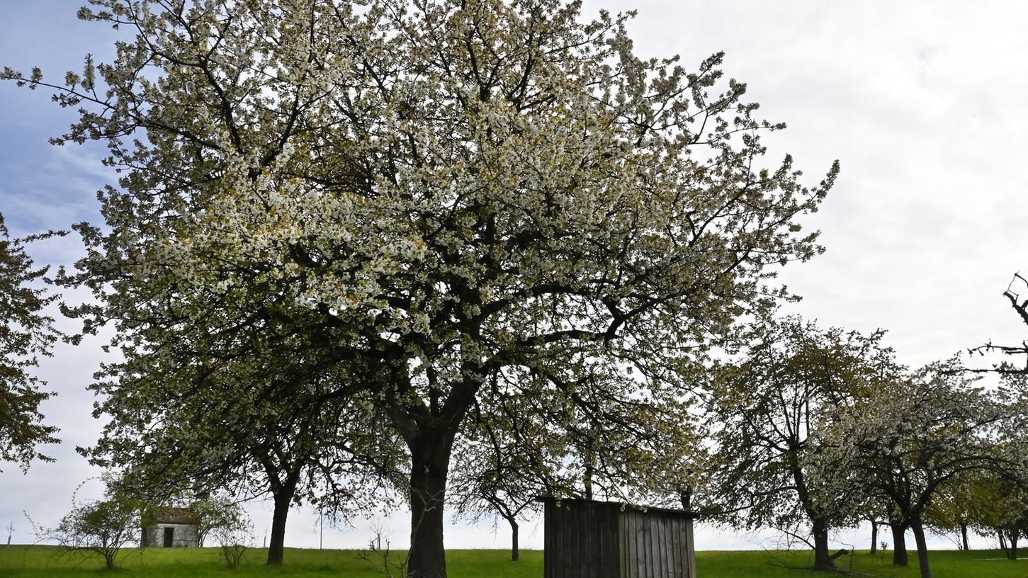 Immer wieder schön: Die Kirschblüte in Kalchreuth.