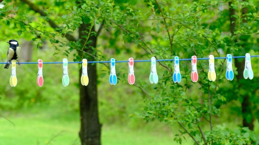 Sehr akurat hängen die Wäscheklammern auf der Leine. Die Meise fällt dazwischenfast nicht auf.