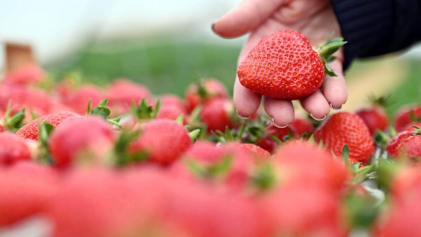Erdbeerenenthalten nur wenige Kalorien und so gut wie keinFett.Beachtenswert ist der hoheVitamin-C-Gehalt von etwa 62 Milligramm je 100 Gramm.Darüber hinaus sind in Erdbeeren dieVitamineA, K, B3, Biotin undFolsäureenthalten unddie Mineralstoffe Kalium,Kalzium, Phosphor undMagnesium.