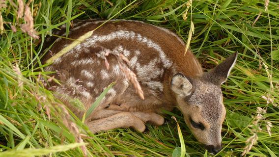 Bayerns Jäger und Bauern retten 90.000 Rehkitze vor dem Tod im Mähwerk