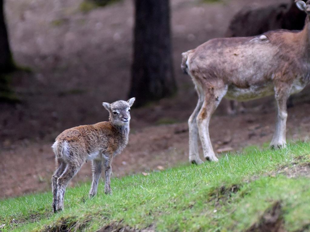 Mufflon und Wildschweinnachwuchs im Wildgehege Hufeisen im Veldensteiner Forst.  Foto: Ralf Münch