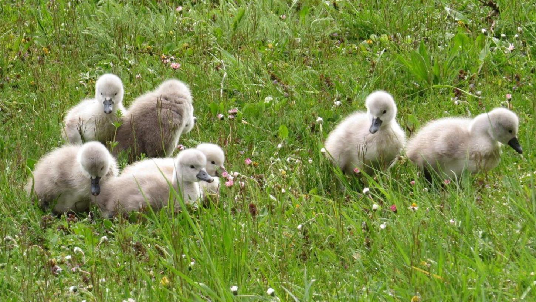Die sieben Jungschwäne aus dem Kurpark gelten seit dem 3. Mai als vermisst.