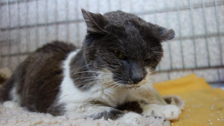"""Auch die grau-weiße Katze mit einem verkrüppelten Ohr kam als Fundtier ins Tierheim Neumarkt. Die schon sehr betagte und wahrscheinlich auch deshalb sehr abgemagerte Katze wurde am 21. Mai in der Amberger Straße in Höhe vom """"Fressnapf"""" aufgegriffen. Leider trägt auch diese Katze keinerlei Kennzeichnung. Wer kennt diese Katze oder wer weiß, wem sie gehört?"""