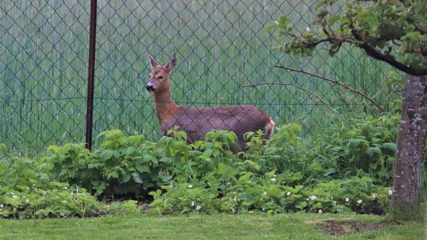 Regelmäßig schaut ein Reh hinter meinem Garten in Worzeldorf als Zaungast vorbei – Frühstücksfernsehen?
