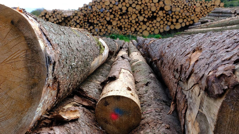 Die Holzpreise sind explodiert, allerdings nur auf dem Schnittholzmarkt, auf dem die aus Rundhölzern geschnittenen Bretter und Balken gehandelt werden. Auf dem Rundholzmarkt – Sägewerke oder Papierhersteller kaufen hier die gefällten Bäume – sieht es anders aus. Unser Bild entstand am Holzlagerplatz des Weißenburger Forstamtes bei Dettenheim.