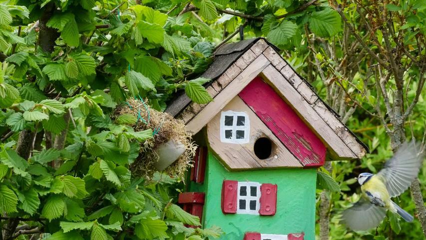 """Die Meisen brüten seit vielen Jahren in unserem Garten in """"ihrem"""" Vogelhaus sehr erfolgreich und sind aktuell im Vollstress der Fütterung."""