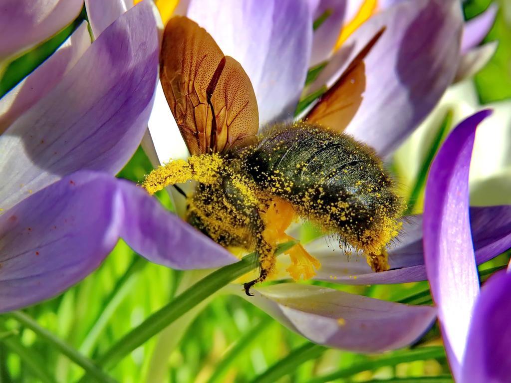 Leserfoto von Reiner Ehlers; 06/21; reiner.ehlers@t-online.de  Nur frei zur Verwendung im Leserforum oder nach Rücksprache;   während der der Coronazeit war für viele Homeoffice angesagt oder ist es immer  noch. Die Bienen waren jedoch ohne Unterbrechung und manchmal auch bei nicht  immer freundlichen Flugbedingungen - Nässe und Kälte - fleißig für uns  unterwegs. Anbei ein Nachweis wie sie unter Einsatz ihres ganzen Körpers  optimal für die Blumenwelt aber auch für die Befruchtung der Obstblüten all das  Obst gearbeitet haben. Die Früchte dieser Arbeit sieht man schon an den  Obstbäumen. Dank an die Bienen!            Reiner Ehlers Giesbethweg 25b 91056  Erlangen                                                                                  091353114