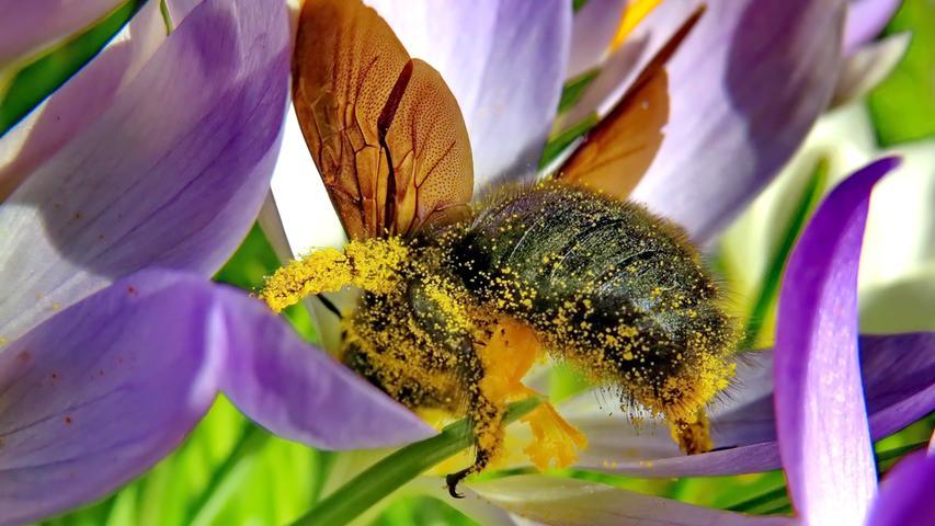 Fleißig und ganz ohne Homeoffice: Die Bienen dürften sich auch über das endlich warme Wetter freuen.