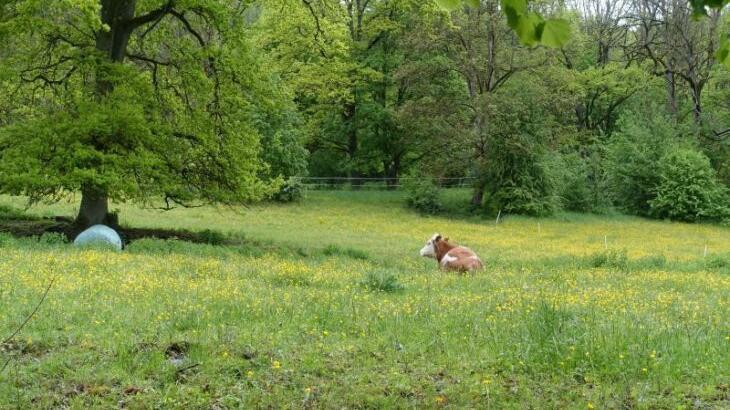 Noch grasen vereinzelt Rinder auf der mit Löwenzahn übersäten Wiese, auf der ab Herbst der Naturkindergarten eröffnet werden soll.
