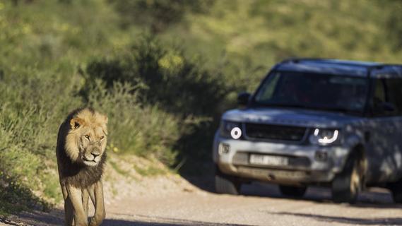 Löwen haben Vorfahrt: Verrückte Verkehrsregeln