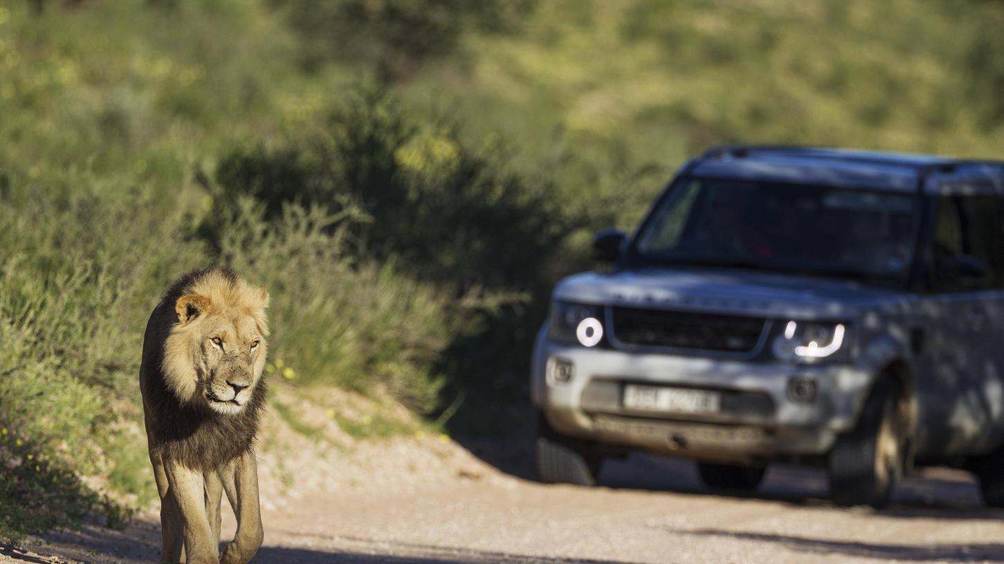 In Südafrika gelten wilde Tiere wie dieser Löwe als gleichberechtigte Verkehrsteilnehmer. Im Zweifelsfall haben sie