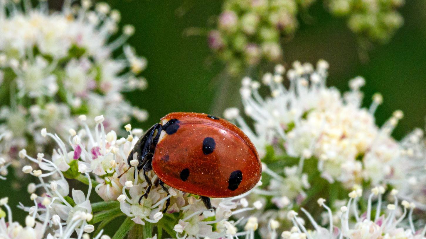Fokus der erstmals gestarteten Insekten-Zähl-Aktion liegt auf dem Marienkäfer.