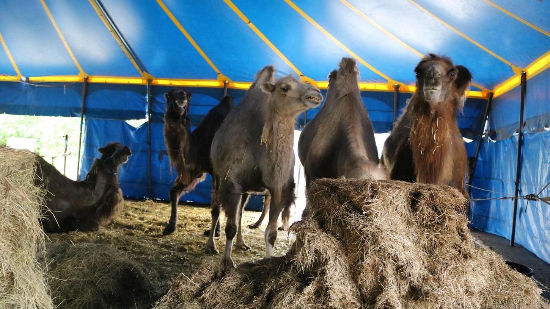 Nachwuchs gab es bei den Kamelen des Circus Alberti nicht, ihnen scheint es einfach nur geschmeckt zu haben.Foto: Anna Franck