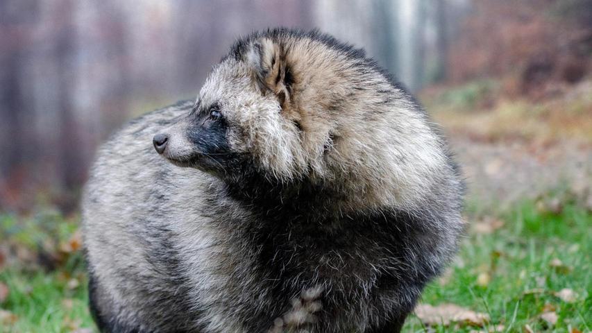 """Der etwa fuchsgroße Marderhund ist in Nordostdeutschland eine wahre Plage. Anfang des 20. Jahrhunderts waren Marderhunde zur Pelztierhaltung aus Asien in die Ukraine gebracht worden und dort in die Freiheit gelangt. Sie verbreiteten sich schnell westwärts. In Brandenburg gibt es sogar schon die Vermutung, dass sie den Fuchs verdrängen könnten. Diesseits der Elbe gibt es noch nicht so viele Exemplare, doch auch in Bayern wachsen Population und Jagdstrecke stetig, vor allem in Oberfranken und Teilen der Oberpfalz. """"Der Marderhund ist ein sehr starker Räuber, der heimische Arten schädigt, vor allem auch Bodenbrüter"""", erklärt Reddemann. Als invasive, gebietsfremde Art darf der Marderhund das ganze Jahr über bejagt werden."""