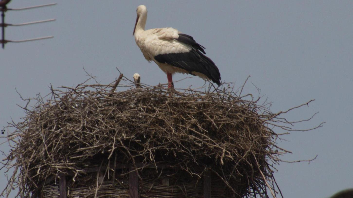 Nachdem das Pegnitzer Storchenpaar erfolgreich gebrütet hat, ist nun auch im Auerbacher Nest Nachwuchs zu erkennen