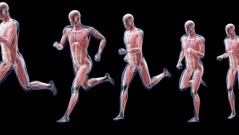 Die Muskulatur des menschlichen Körpers zu verstehen und in der Trainingsgestaltung zu berücksichtigen, zahlt sich bereits auf Amateur-Niveau aus.