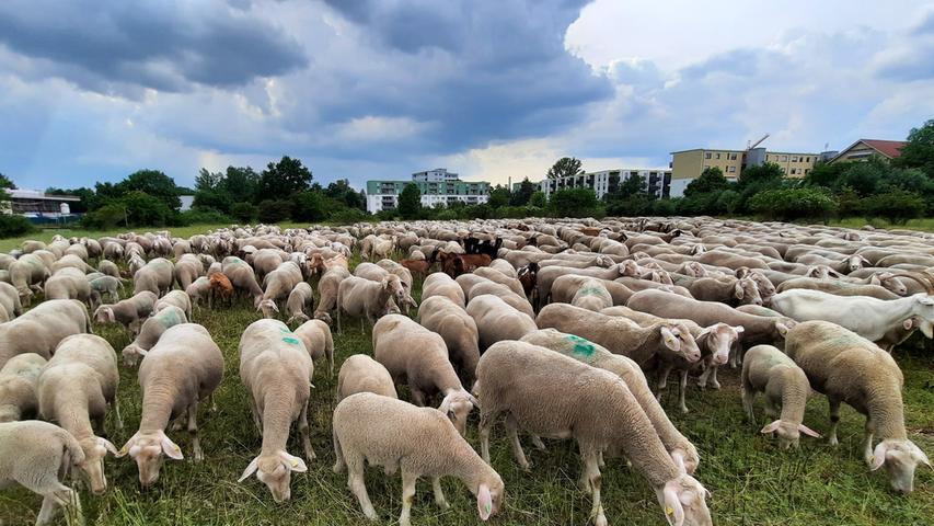 Eine Schafherde mitten in Erlangen