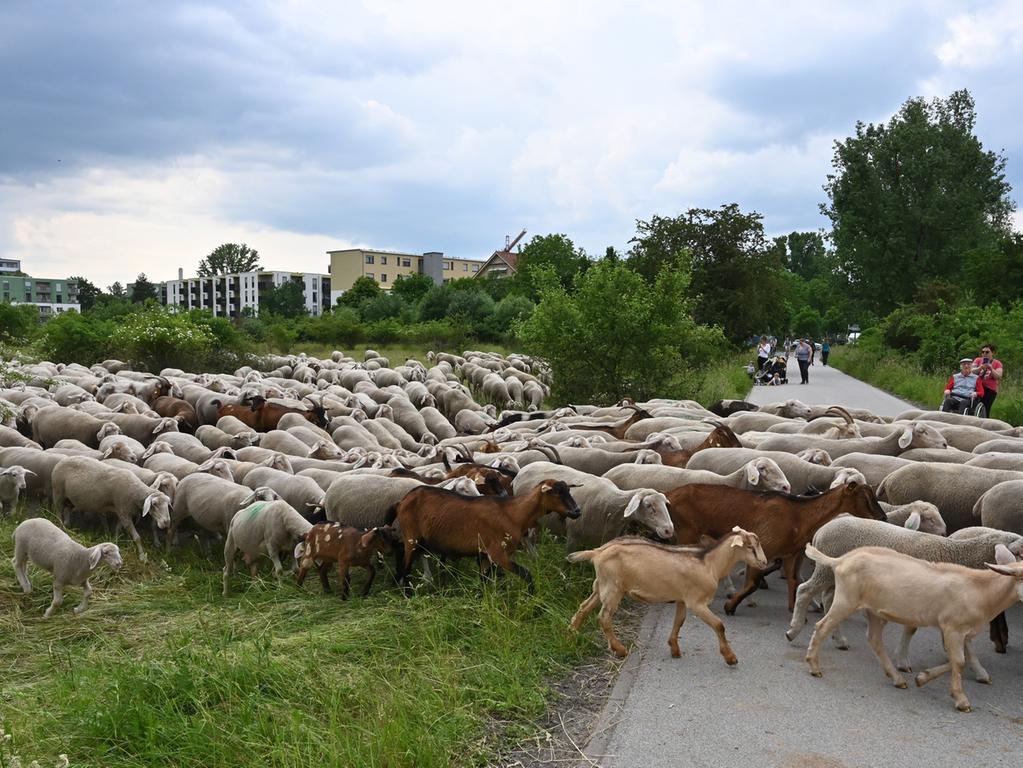 """Die Schäferin Luisa Belz ist mit 600 Schafen, 20 Ziegen und drei Hütehunden auf dem Exerzierplatz unterwegs. Die Tieren dienen als """"Rasenmäher"""" und sorgen dafür, dass die Sandfläche nicht verbuscht. .Foto: Klaus-Dieter Schreiter"""