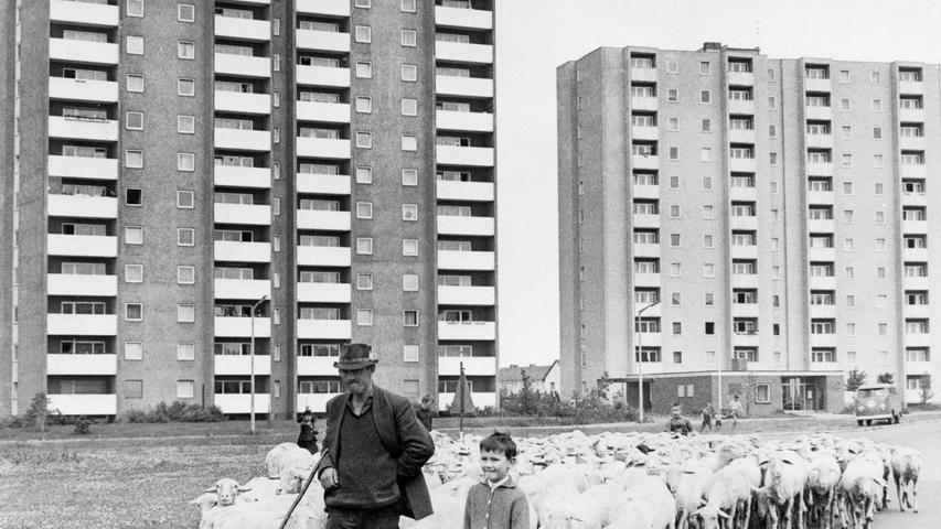 Das waren noch Zeiten: Ein Schäfer treibt seine Herde 1966 an den noch neuen Hochhäusern vorbei.