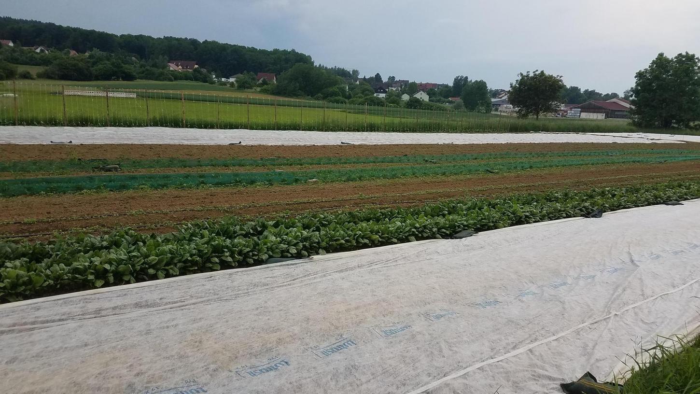 """Im zweiten Anbaujahr zählt der Verein Solidarische Landwirtschaft Ebermannstadt 130 Mitglieder. Im Jahr 2020 wurden 60 Haushalte mit Gemüse versorgt. Jeden Mittwoch finden auf dem 0,8 Hektar großen Feld in Richtung Hagenbach """"Helferabende"""" statt."""