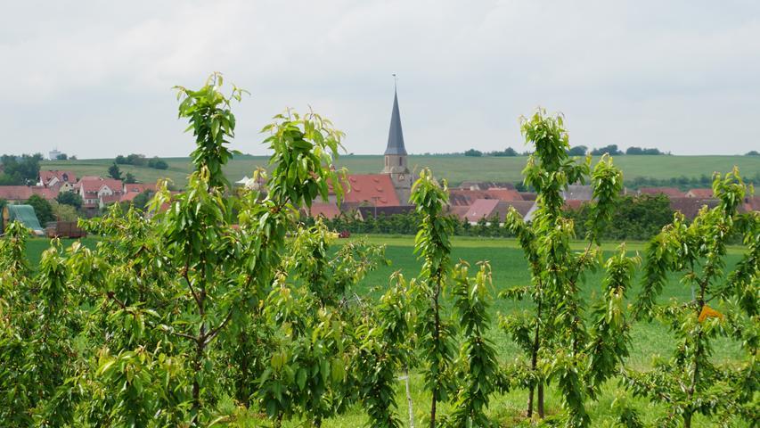Die hügelige Landschaft um Kalbensteinberg ist geprägt von Streuobstwiesen und vor allem den vielen Kirschgärten. Auf den Weiden stehen Charolaisrinder.