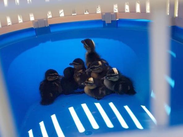 In einem Haustier-Tragebox brachten die Feuerwehrleute den Enten-Nachwuchs zurück zum Fluss.