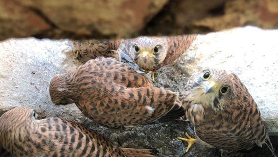 Happy ohne Nest: Fünf kleine Falken über Schwabacher Laden