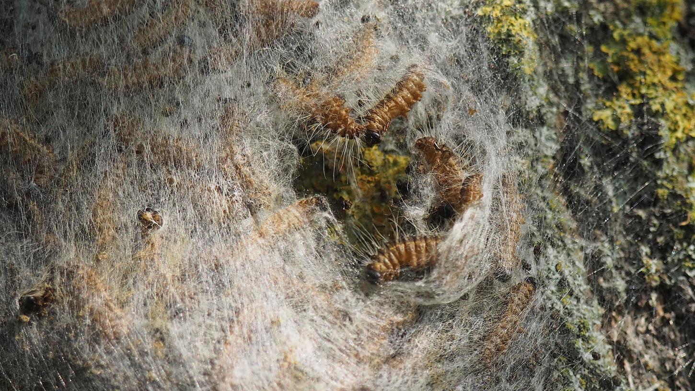 Kein schöner Anblick: Raupen des Eichenprozessionsspinners in ihren Gespinstnestern.
