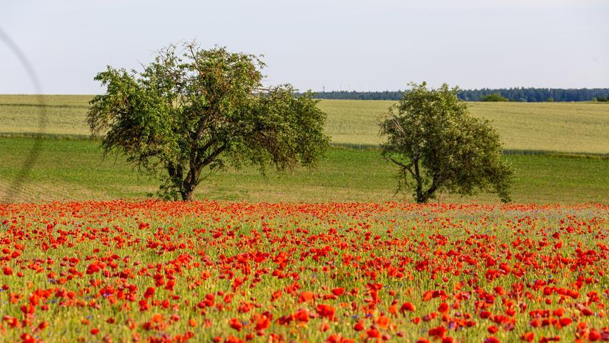 Im Vergleich zu den häufig einzeln zu findenden Mohnblüten stehen in der Nähe von Trabelsdorf ganz viele der Pflanzen auf einem Landstrich.