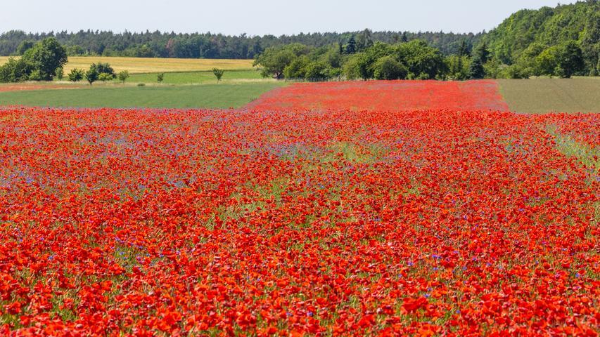...und ein wenig ungewöhnlich so viel rote Mohnblumen auf einem Feld zu finden.