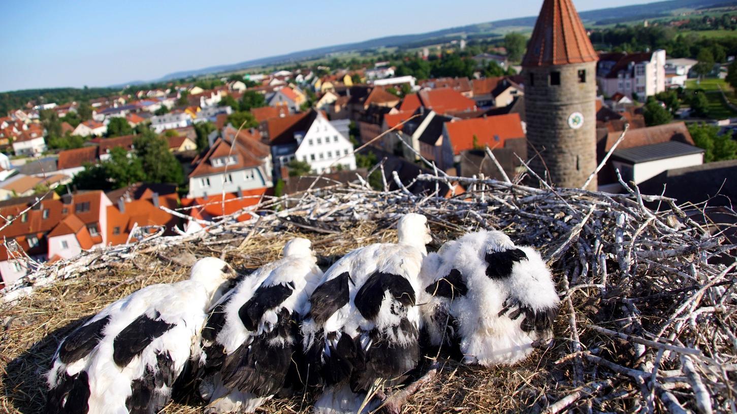 Jungstörche in Gunzenhausen wurden beringt