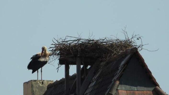 Das Nest auf dem Wassertor ist verlassen, der Storch putzt sein durchnässtes Gefieder. Zuvor schien es so, als ob es doch Hoffnung auf Nachwuchs geben könnte.