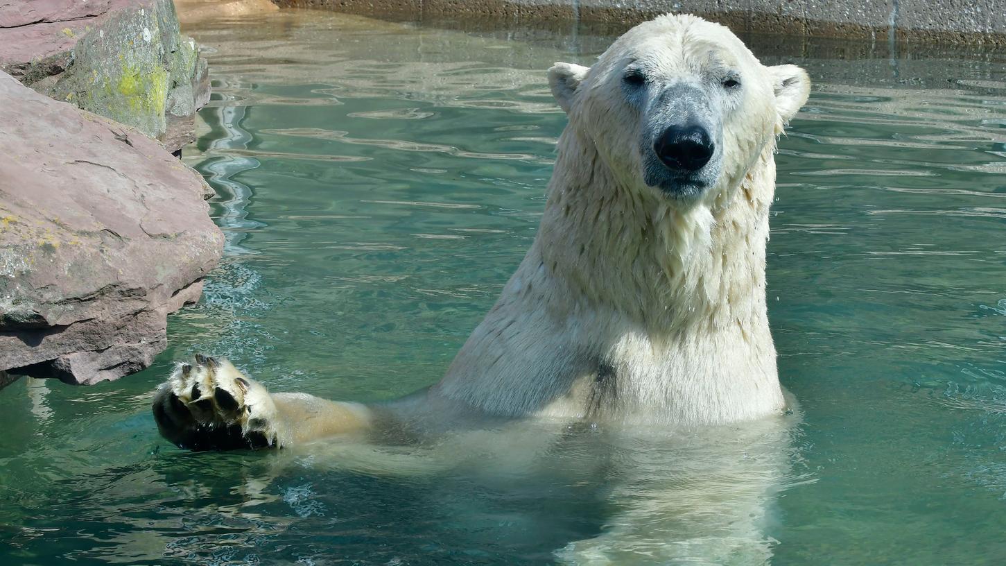 Für diesen Eisbären bietet das Wasser eine schöne Abkühlung. Was Tieren sonst gegen die Hitze hilft, verrät die Kinderzeitung