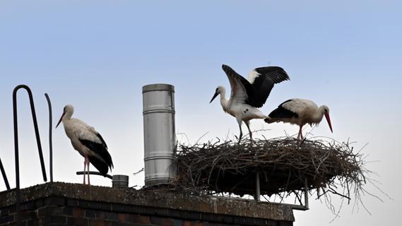 Junger Storch auf dem Heka-Gebäude in Erlangen wird flügge