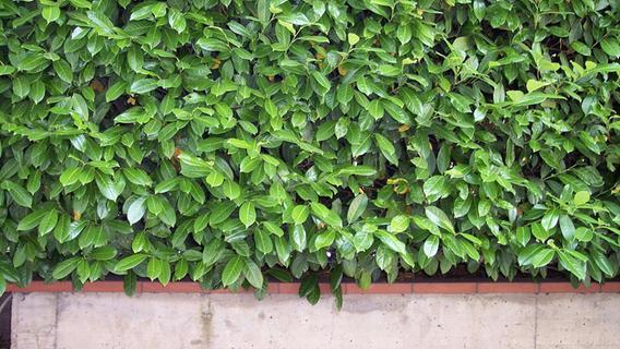 Darum sollten Sie Hecken aus Thuja, Kirschlorbeer und Bambus dringend aus dem Garten entfernen
