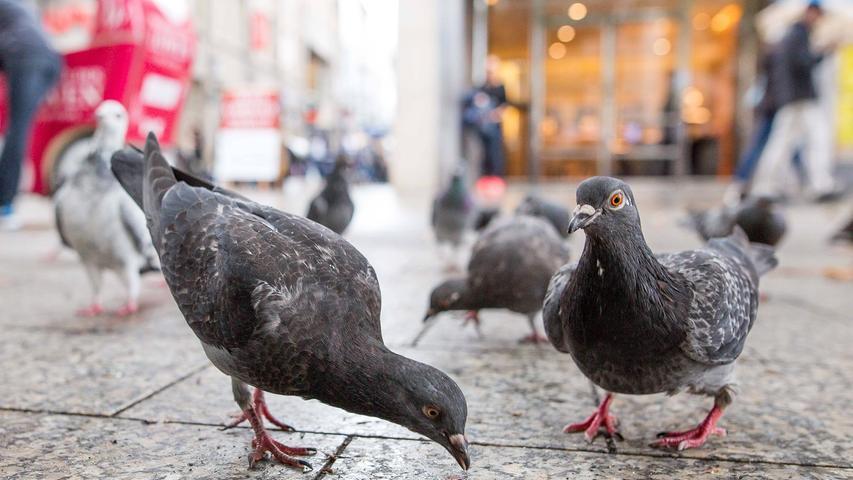 Krankheiten, Fütterungsverbot und Plage: Das müssen Sie über Tauben wissen