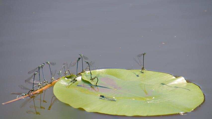 Genuss im Sommer: Libellen auf einem Seerosenblatt.